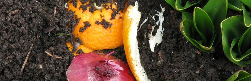 Composted fruits and vegetables mix with soil beside springtime autumn crocus leaves. Composted orange peels, red onion skins, a plant, and rich soil form a colorful compost concept:  waste is recycled to become something beautiful, useful, good.